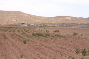 Quinoa fields - only some plants are germinating due to extreme drought conditions.